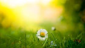 Un fiore nei prati vicino il Lago di Como